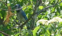 Spotted a blue jay while hiking in Samuel de Champlain Provincial Park...