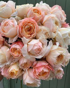 """4,091 """"Μου αρέσει!"""", 129 σχόλια - Steph Turpin (@fairynuffflowers) στο Instagram: """"I love it when you discover new roses. These two varieties are a dream! Hope you're all having a…"""" My Flower, Flower Power, One Rose, Gloomy Day, Orange Roses, Bloom, In This Moment, Make It Yourself, Pretty"""