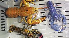 Know how to Buy, Store and Cook Maine #Lobster.