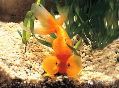Malawi cichlids, Cichlids and Dinosaurs on Pinterest