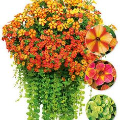 "Ampel-Mix ""Sunny Days"",3 Pflanzen"