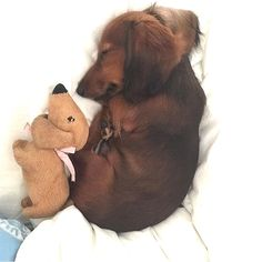 super cute dachshund #funny #animal #pup Brown Dachshund, Funny Dachshund, Dachshund Puppies, Dachshund Love, Dogs And Puppies, Doggies, Wiener Dogs, Daschund, Cute Little Animals