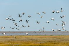Snow Geese Taking Flight Near York Factory, Manitoba