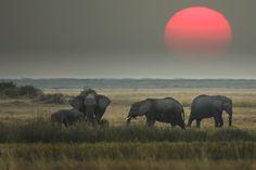 African elephants at sunset, Okavango Delta, Botswana - Art Wolfe Elephant Day, Funny Elephant, Elephant Love, Art Wolfe, Wildlife Day, Okavango Delta, My Point Of View, Game Reserve, African Elephant
