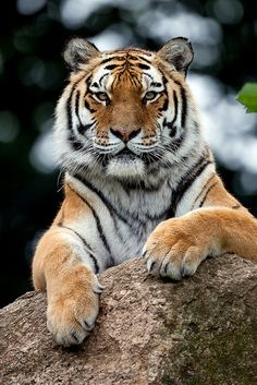 The majestic Indochinese Tiger. Classified endangered, fewer than 300 are left.