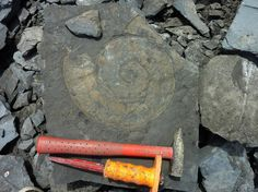 """Beast of an ammonite collected from the Holzmaden Shale this summer with @BeThorney #FossilFriday"" - Rowan Dejardin"