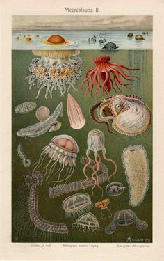 1894 sea fauna I ocean scene, original antique sea life print. This is an original antique print from 1894, a book plate lithograph printed in colour in Leipzig, Germany. The print depicts assorted sea animals (Meeresfauna) swimming and floating around the ocean as titled in German at the top of the page. seas, sea creatur, ocean scenes, art, antiqu sea, sea fauna, prints, scientif illustr, antiques