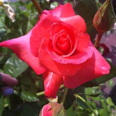 A perfect Rose!