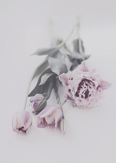 palest lavender tulips
