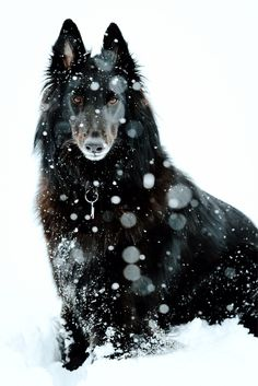 majestic belgian shepherd dog groenendael Dog Photography Puppy Hounds Chiens Puppies