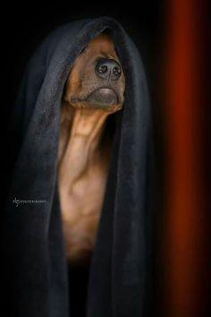 Sorpresa Rhodesian Ridgeback, Dog Gates, Crazy Dog Lady, All Gods Creatures, Dogs Of The World, Beautiful Dogs, Mans Best Friend, Labs, Animal Photography
