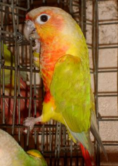 American Dilute/Yellow-Sided Conure