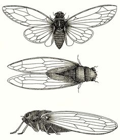 sepia Cicadas' Art Print by Vicky Pratt Cicada Tattoo, Insect Tattoo, Tattoo Perna, Sailor Jerry Tattoos, Dragon Tattoo Back Piece, Japanese Dragon Tattoos, Tattoo Flash Art, Insect Art, Art Sketchbook