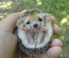 hedgehog!!!! must have!