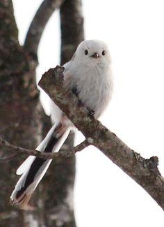 シマエナガ long tailed tit bird