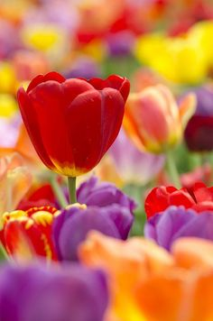 #sprin, #tulip, #flowers