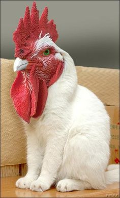 rooster cat....?!? photoshop, you just ruined my day. thanks, now I am going to have nightmares about rooster cat for WEEKS,