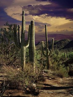Sonoran desert. ✯ Saguaro Cactuses in Saguaro National Park - Tuscon, AZ-- this is truly such an amazing place we traveled through here on our last USA trip
