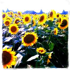 Sunflower Festival  ali this is for you