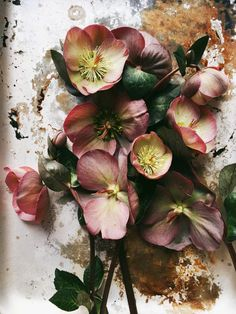 DUSTY PINK HELLEBORE - Getting married in March? See our seasonal flowers board for a full list of flowers that are available for florists to buy in March for a Spring wedding. Whether you are planning a romantic, wild and natural bouquet or bright and vibrant table centrepieces - our month by month boards cover every possibility for every month be it Winter, Autumn or Summer! xx