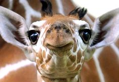 Baby Animals: a baby giraffe