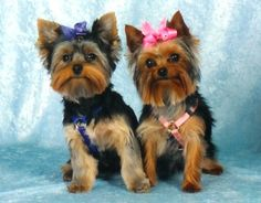 Yorkshire Terrier Pups   Lean to the Left, Lean to the Right,  Stand up Sit Down,...
