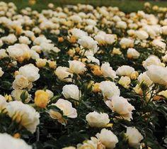 Popcorn Drift® Yellow Groundcover Rose