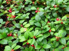 Gaultheria procumbens-Wintergreen  low growing ground cover.