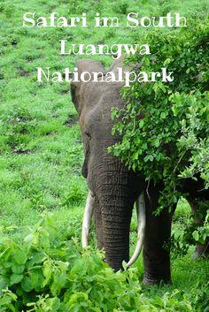 Eine Safari im South Luangwa Nationalpark in Sambia ist ein Traum.