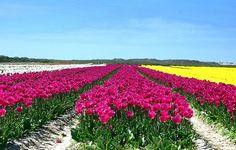 tulipes la torche 2016 - Recherche Google