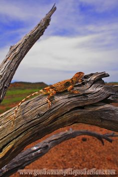 Photographs Australian Lizards by Rob Valentic. Vertebrates, Reptiles And Amphibians, Dragon, Creatures, Animals, Animales, Animaux, Dragons, Animal