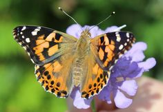 Thanks to Steve Brown for sharing a gorgeous photo his butterfly release with us!