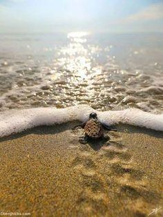 Turtle on the beach , A H , Cute Creatures, Sea Creatures, Beautiful Creatures, Animals Beautiful, Cute Funny Animals, Cute Baby Animals, Animals And Pets, Baby Sea Turtles, Cute Turtles