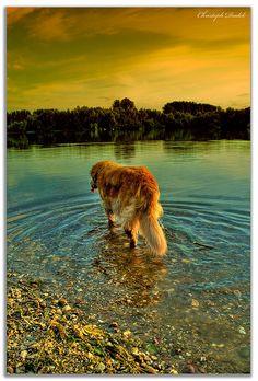 beautiful golden retreiver walks into the golden sunset