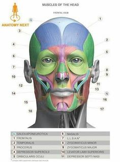 Head & Neck Anatomy book - MUSCLES - Estimated completion of this book is… Anatomy Head, Facial Anatomy, Anatomy Poses, Anatomy Study, Anatomy Art, Anatomy Reference, Human Anatomy For Artists, Human Anatomy Drawing, Human Body Anatomy