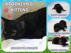ALL MURDERED💔💔💔💔 - GONE 4/9/17 **FELV +** BROOKLYN GAVE BIRTH TO 3 KITTENS AFTER BEING BROUGHT INTO SHELTER - SHE IS NOT PRODUCING MILK AND NEEDS IMMEDIATE CARE - ACC RECOMMENDING EUTH TO MOM CAT.