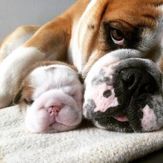 ❤ Snuggled up with mummy ❤ Posted on Baggy Bulldogs