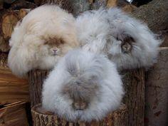 Super fluff! Angora rabbits