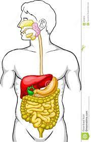 menselijk lichaam spijsverteringsstelsel - Google zoeken