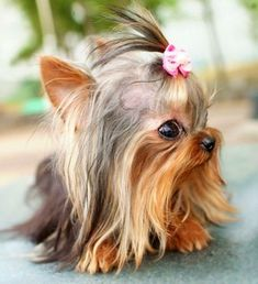 Teacup Yorkie........omg, i'd carry this dog with ME ANYWHERE!!!!!!!!!!!!! so cute :D
