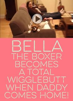 Bella the Boxer becomes a total wigglebutt when daddy comes home! <3