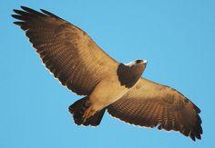 Foto águia-chilena (Geranoaetus melanoleucus) por Mathias Singer | Wiki Aves - A Enciclopédia das Aves do Brasil