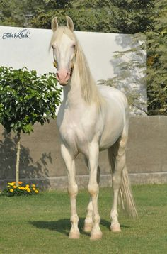 247 Best Desi Horses of Pakistan images | Desi, Pakistan