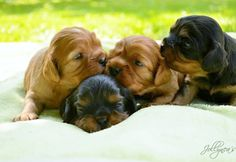 Ruby and Black and Tan Cavalier King Charles Spaniel puppies - so cute!