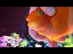 MASSAGING MY BLOOD PARROT CICHLID - This fish actually waits for it's people to come home in the corner of the tank closest to the door. It splashes the water to get attention...it likes the human touch as this video clearly shows!