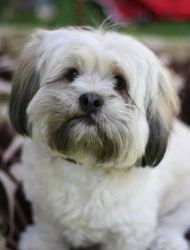 Meet Bobby, an adopted Lhasa Apso & Shih Tzu Mix Dog, from The Rescue Train in Toluca Lake, CA on Petfinder. Lhasa Apso, Doggies, Dogs And Puppies, Dog Shaming, Lovely Creatures, Cute Funny Animals, Shih Tzu, Dog Life, I Love Dogs