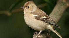 British garden birds - Female chaffinch