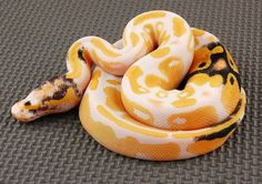 The paradox albino python. Image: Save our green, FB