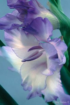 Beautiful Lavender Gladiolus by Larry Friedman