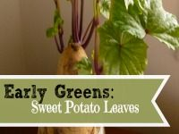 Early Greens: Sweet Potato Leaves // did you know that sweet potato leaves are edible?